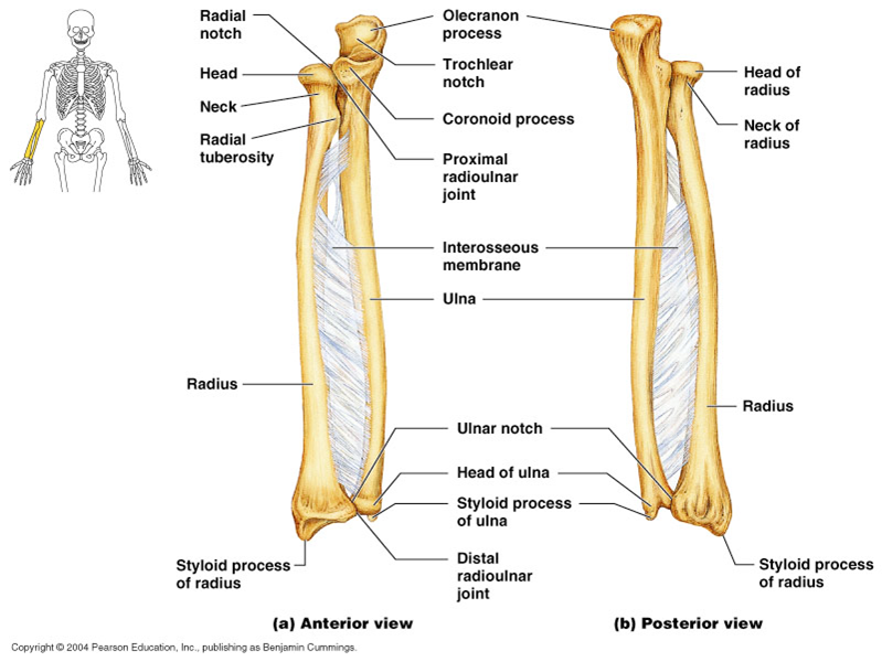 Which bone is bigger, the ulna or radius? | Socratic
